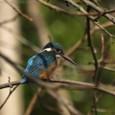 小鷺の様子を見守る翡翠