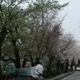 三島・遺伝研・桜並木