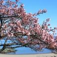 早咲きな熱海桜