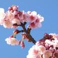 早咲き熱海桜
