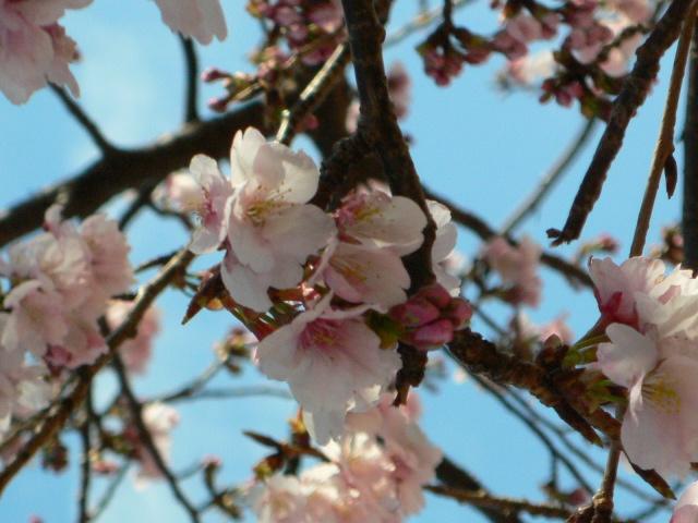 サンビーチの桜