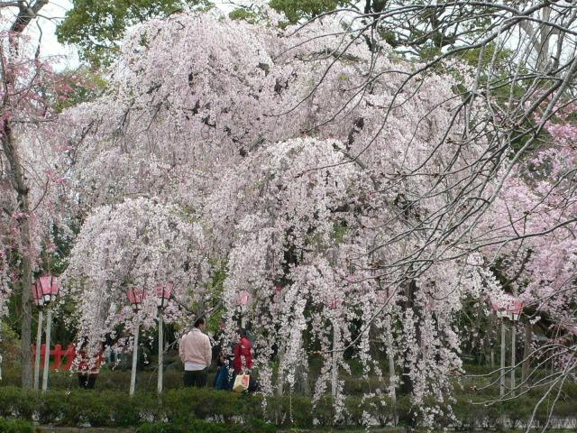 三嶋大社・昼の桜
