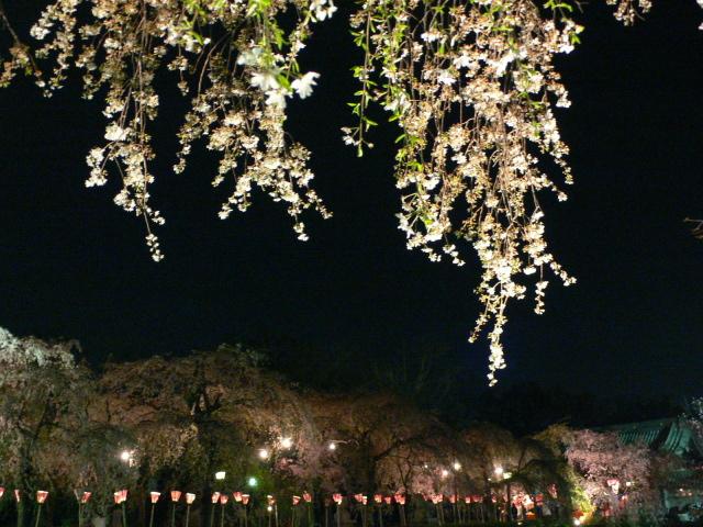 三嶋大社・夜桜