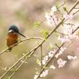 桜の枝に佇むカワセミ③