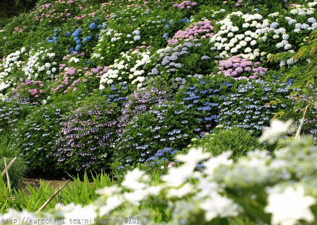 紫陽花の丘