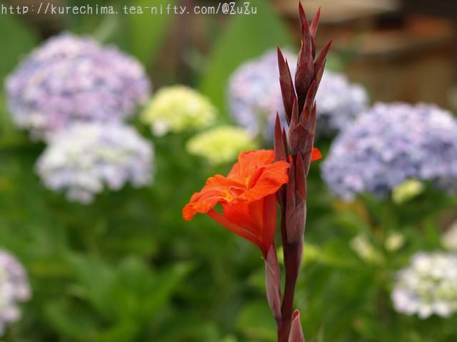 せせらぎと紫陽花と…