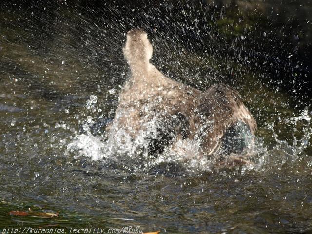 鴨の水遊び