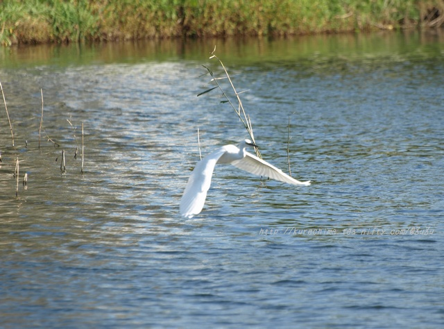 小鷺の飛翔Ⅳ