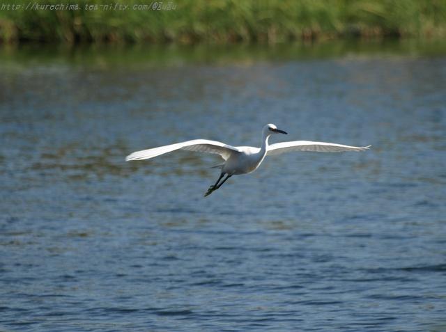 小鷺の飛翔Ⅴ