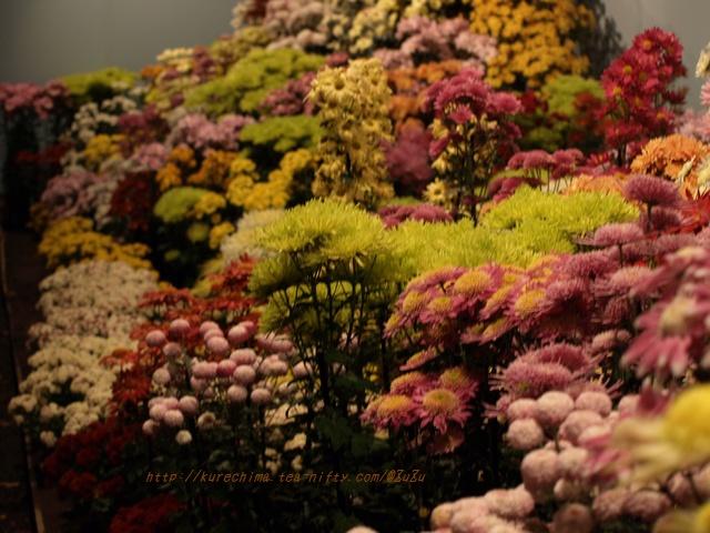 夜菊の花壇