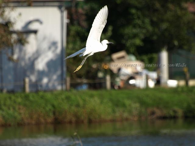 小鷺の飛翔