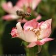 ハチの宅急便