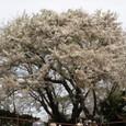 皆が見上げた桜