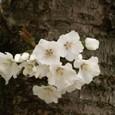 幹に咲いた桜