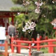 祈願と桜③