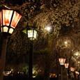 夜の桜を灯す②