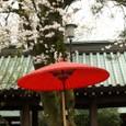 桜の下の傘