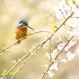 桜の枝に佇むカワセミ④