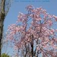 ポプラと桜