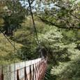 吊り橋に掛かる桜