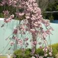 ガーデン入り口の桜