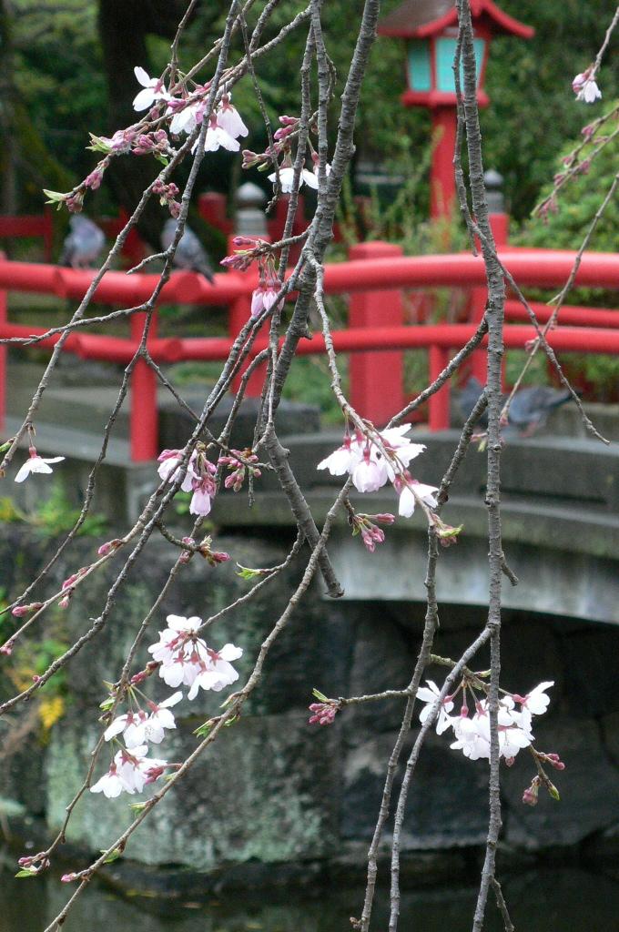 枝垂桜と赤橋