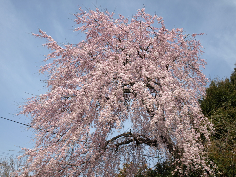 遺伝研の桜①