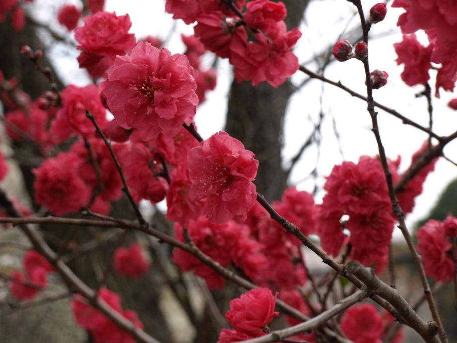 珍種な桜②