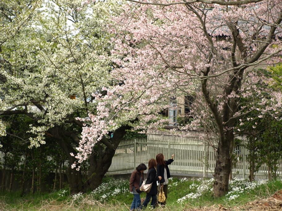 桜の木を見上げて