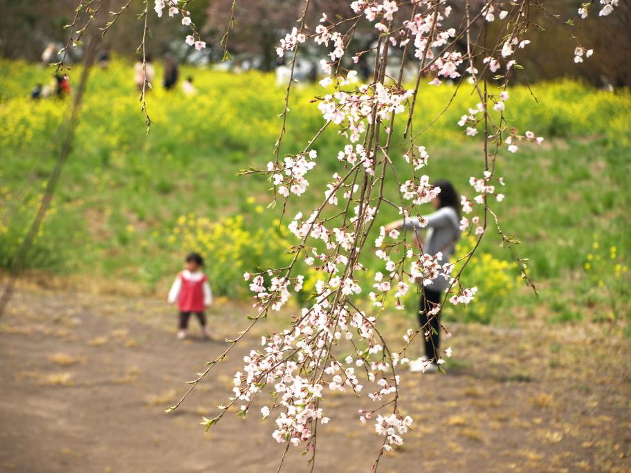 桜と菜の花と母娘と