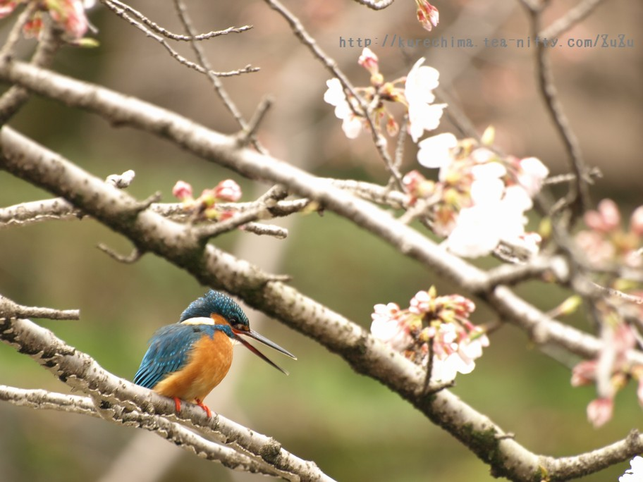 カワセミと桜①