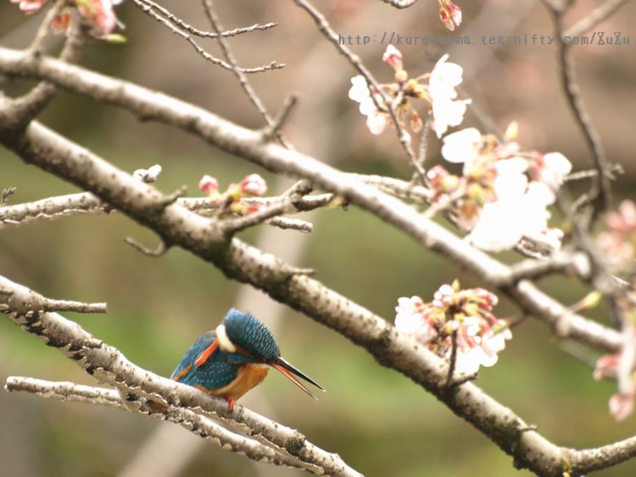 カワセミと桜②