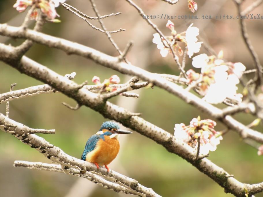 カワセミと桜④