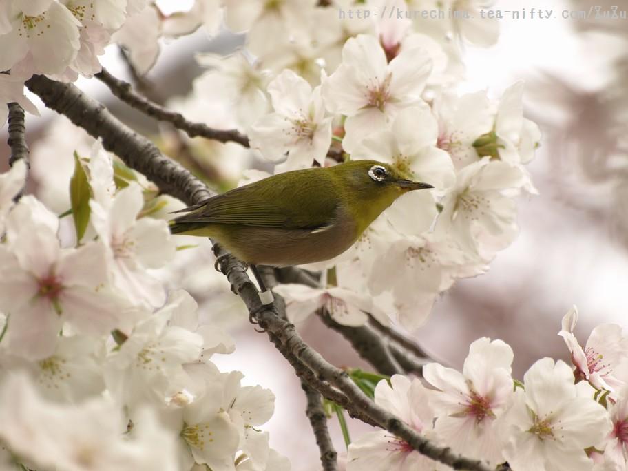 メジロと桜①