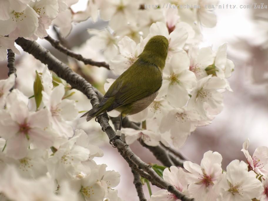 そっぽ向かれたメジロと桜