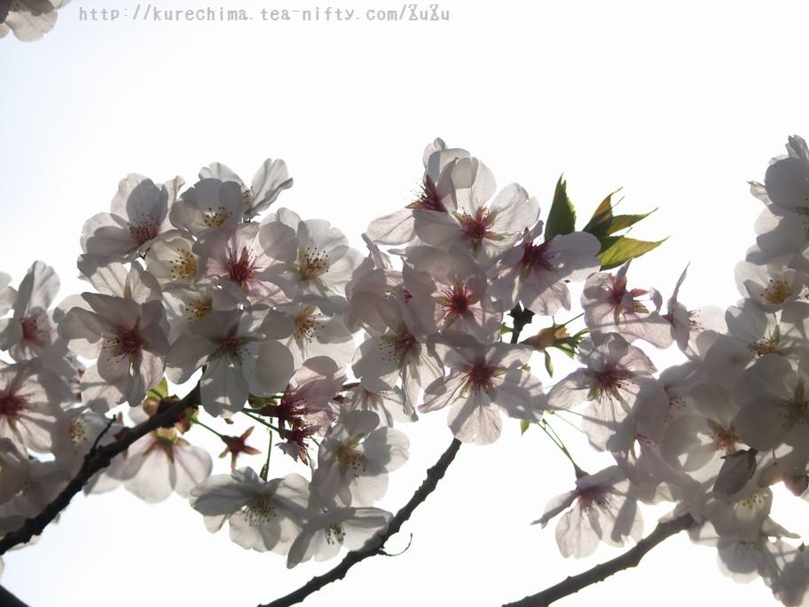 透かした桜