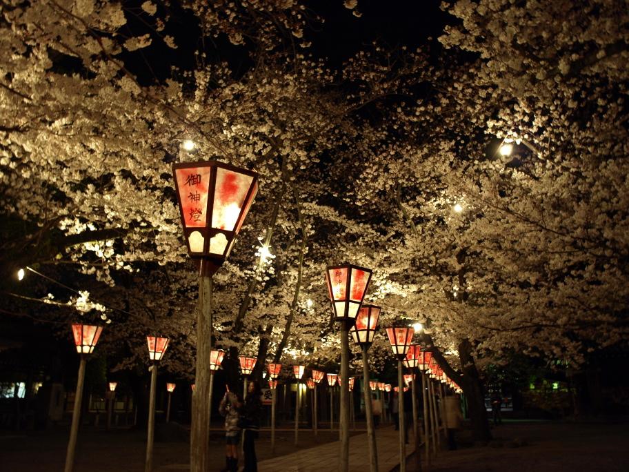 夜の桜を灯して