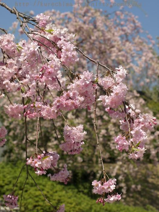 ガーデン入り口前の桜