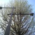 公孫樹の木